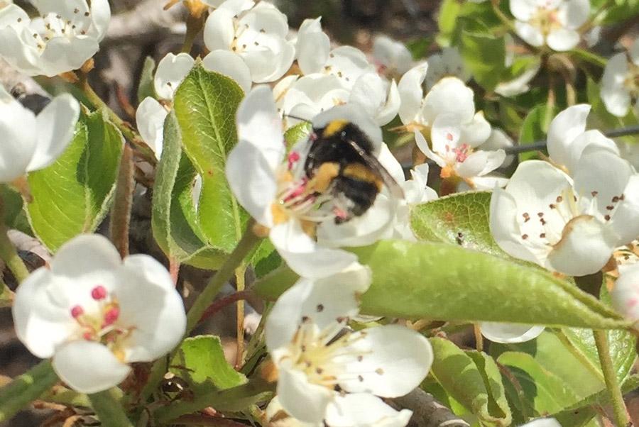 Agrobee Pear